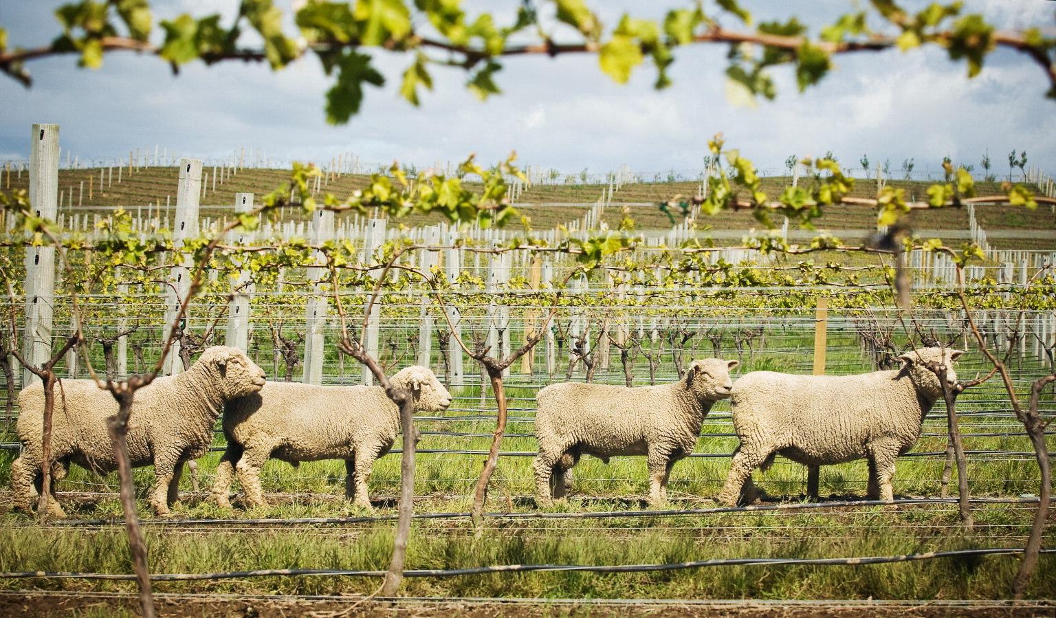 Babydoll sheep herd-0061482.jpg